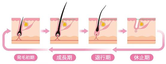 髪の毛のライフサイクル